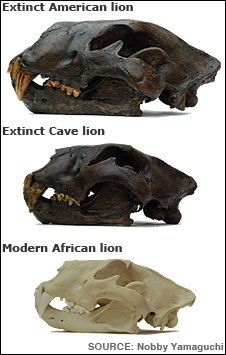 Size comparison of skulls of extinct lions and modern Lion