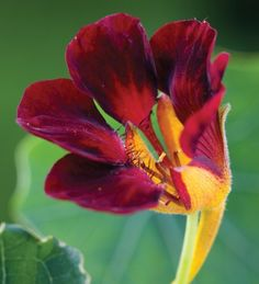 A sumptuous, glamorous, rich, almost-black, compact nasturtium. Use as a ground cover or in a container.