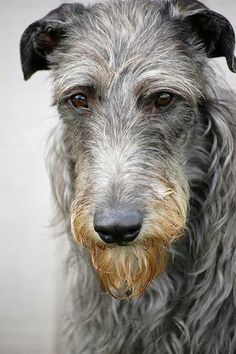 Irish Wolfhound -- I would love to share my life with one of these incredible animals.  Beautiful.