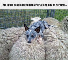 Fell Asleep Counting Sheep