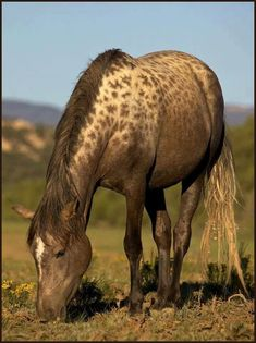 Mustang with rare AAA special leopard complex gene... …