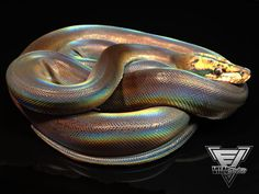 Vital Exotics.com - 2013 Golden Child Motley 50% Het Albino Male (1.0) Reticulated Python, $3,750.00 (http://www.vitalexotics.com/2013-golden-child-motley-50-het-albino-male-1-0-reticulated-python/)