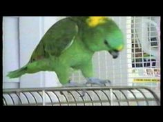 parrots dancing to Michael Jackson's Thriller.  That cockatoo has Bayley's moves!