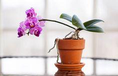 Så lyckas du med dina orkidéer – allt från skötsel till omplantering