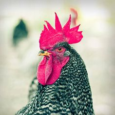 Farm animal photography  Bardrockin Rooster  8x8 by ShawnaCameron, $25.00