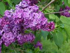 Each May the Lilac Festival brings hundreds of thousands to Rochester, N.Y.