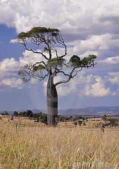Boab tree - Austrailia