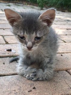 Kitten with Special Feet Walks Up to Woman for Love, Now Weeks After Rescue...
