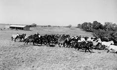 Gene Autry's Flying A Ranch horse herd