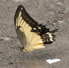 Papilio androgeus, Androgeus Swallowtail, 2013 Oct 27, Rio Chiguaza, Pastaza, Ecuador, JGlassberg - 362   by jeffreyglassberg
