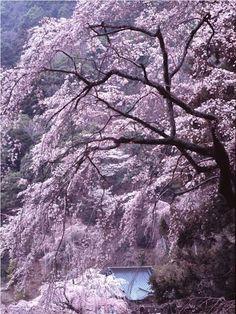 Amazing sakura tree. cherry blossom japan spring