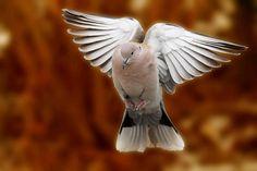 dove in flight canon 7D | Flickr - Photo Sharing!