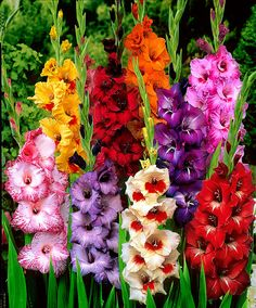 Storblomstrende gladiolus Mix - Knold Gladiolus sp.   Jo større knolde desto større blomster! De storblomstrende Gladiolus er typiske sommerblomster, da de blomstrer i sådan en overflod. Blomsterne er ganske udsøgte, med den lille blomst som udvikler sig symmetrisk omkring stilken. De bringer herlige farver til sommerhaven og er også fabelagtige til afskæring.