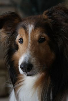 Shetland sheepdog-looks just like my childhood dog