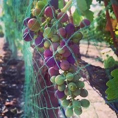 Week 13: A big week! The Syrah cluster we've been following has started to go through veraison, showing us a beautiful array of colors as the grapes ripen. We also netted the vines this week, to keep birds from harming the grapes #beckmensyrah2015