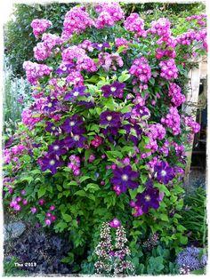 Rose Perennial Blue - Bilder und Fotos
