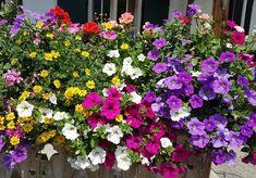 Kombinace petúnií, muškátů a bidens je vděčná a pohledná Plants, House, Ideas, Plant, Planets