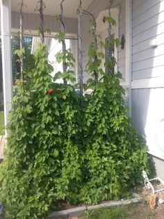 Humala kasvaa pitkin heinäseipäitä ja luo kuistille kaivattua näkösuojaa.
