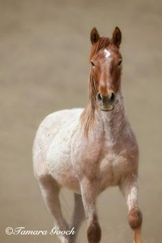 Inspiration for Jackson, the wild horse Wade adopts. Red Roan Mustang Stallion