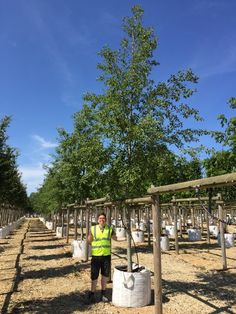 Alnus incana, Grey alder is a fast grower well suited to industrial areas and street plantings. #urban #trees #alnus #bees