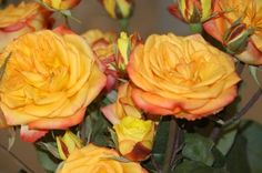 Fiction - Rose de jardin - Roses - Fleurs par catégorie | Sierra Flower Finder