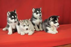 Husky Puppies ! In need of one with some baby blue eyes.