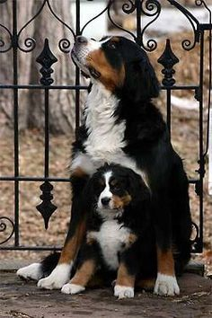 Bernese Mountain Dogs ~ The Animals Planet