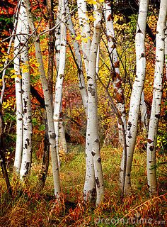Photo about White fall birch trees with autumn leaves in background. Image of growing, nature, natural - 22315680 Birch Tree Mural, Tree Wall Murals, White Birch Trees, Birch Bark, Autumn Scenes, Aspen Trees, Tree Forest, Birch Forest, Tree Photography