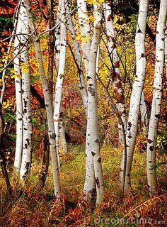 fall birch tree photography - Google Search