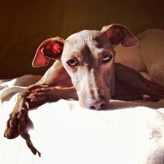 Glauco, one of my two italian greyhounds | by matteolivorno