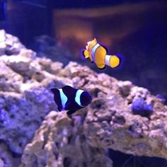 Have you tried pairing Clownfish of different morphs colors or species? Did they pair successfully? #marinedepot #happyreefkeeping #experiment #clownfish