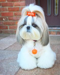 Things I love about the Playfull Shih Tzu Puppies Shih Tzu Hund, Shih Tzu Puppy, Shih Tzus, Shitzu Puppies, Cute Puppies, Cute Dogs, Puppy Haircut, Sweet Dogs, Dog Haircuts