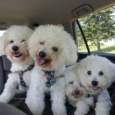 A troupe of Bichons