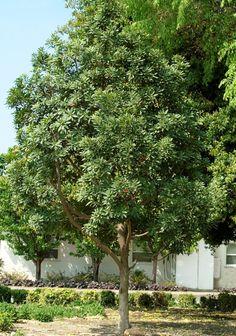 Japanese Blueberry Tree - Shogun® Series - Monrovia - Japanese Blueberry Tree…