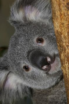 Happy Australia Day! To celebrate, we just launched Koala Cam (woohoo!) and our Koalafornia Dreamin' photo contest. The top photographers win an all expenses paid trip to the Zoo for the opening ceremony of our new Conrad Prebys Australian Outback exhibit, opening May 25th. Go bask in Aussie awesomeness.