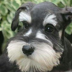 This looks like our sweet Schnauzer Callie❤️