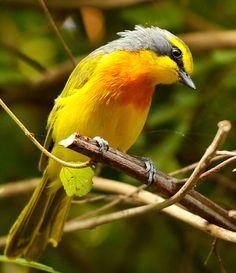 orange breasted bushshrike (Telophorus sulfureopectus)