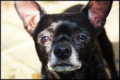 chawawa | Black Chihuahua by ~MonkeyComics on deviantART