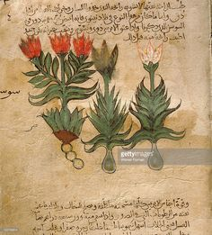 Folio 4r of the Arabic version of Dioscorides De Materia Medica, Iris germanica (fleur de lis or bearded lily). Islamic. 987 990. Samarkand.