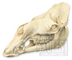 WSM-346: Dromedary Camel    Skull (Natural Bone Quality A)