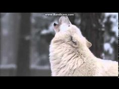 music: Nightwish- 7 days to the wolves (orchestral) I am not owner this song and this videos of wolves. I just maked one big video of wolves. Wolf, Youtube, Instrumental, Nature, Animals, Metal, Wolf Howling, Wizard Of Oz, Wild Animals