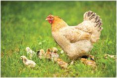 Avian Flu FAQs