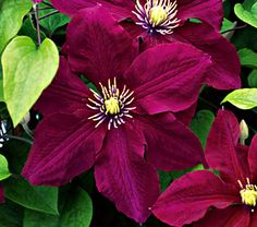 Clematis Rosemoor™ - New intro from the Royal Horticultural Society.  Blooms from early summer to fall.  Pruning Group 2 - blooms on old and new wood.