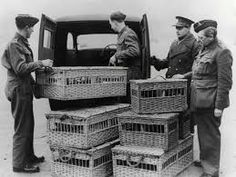 Image result for racing pigeons Pigeon Post, Pet Pigeon, Homing Pigeons, Back Message, The War Zone, British Army, World War Two, Pet Birds, Racing