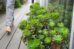 sucullents aeonium growing out of composite decking. lovelly.