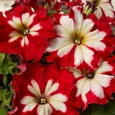 Petunia, Can Can Harlequin Cherry Rose