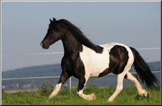 Pinto Friesian glory - and that one has the feather!!!
