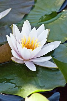 Water lilies - favouritest flowers.