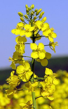 """Rapeseed(Brassica napus), also known asrape,[1]oilseed rape,[1]rapa,rappi,rapaseed(and, in the case of one particular group ofcultivars,canola), is a bright yellow flowering member of the familyBrassicaceae(mustard or cabbage family), (油菜p) consumed in China as a vegetable (""""yu choy""""). The name derives from theLatinforturniprāpaorrāpum, and is first recorded inEnglishat the end of the 14th century."""