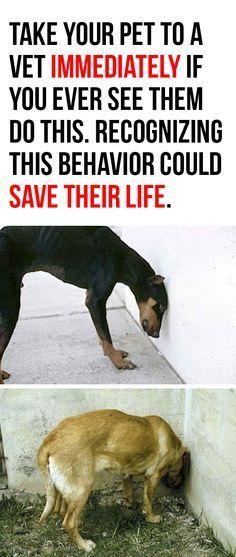 Si votre chien agit de cette façon, amenez le immédiatement chez le vétérinaire, cela peut lui sauver la vie!